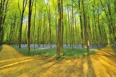 Forked Path through Beech Forest with Bluebells in Spring, Hallerbos, Halle, - stock photo