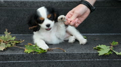 Cute Cavalier King Charles Spaniel puppy Stock Footage