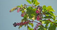 Berries Against Blue Sky Stock Footage