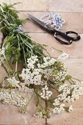 Stock Photo of silver milfoil (achillea millfolium), a medicinal herb