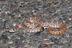 baby mojave rattlesnake - crotalus scutulatus - stock photo