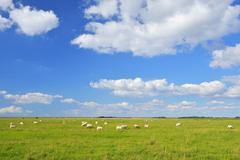 Stock Photo of Sheep in Meadow in Summer, Toenning, Eiderstedt Peninsula, Schleswig-Holstein,