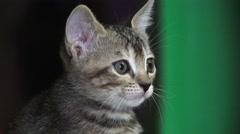 Gray Tabby Cat Kitten Face Close Up 4K Stock Footage