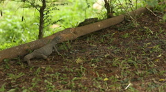 Lizard digs the ground and eats insects in grass leaves Stock Footage