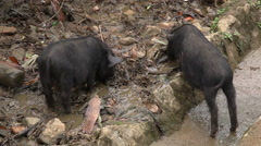 Two small pigs eating Stock Footage