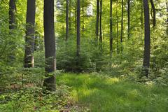 Stock Photo of Deciduous Forest in Spring, Kefenrod, Hesse, Germany