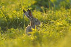 European Brown Hare (Lepus europaeus) in Meadow, Tadten, Hansag, Burgenland, Stock Photos