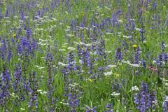 Meadow Clary (Salvia Pratensis) in Meadow, Dolomites, South Tyrol, Trentino-Alto - stock photo