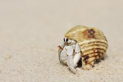 Hermit Crab (Anomura) on Sand of Beach, La Digue, Seychelles - stock photo