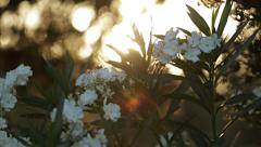 White flowers on a background of a sunset in the forest Stock Footage