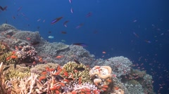 Coral reef with Anthias and Fusilier - stock footage