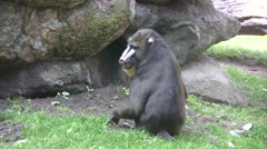 Mandrill in a wildlife park Stock Footage