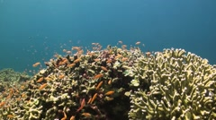 Coral reef with Anthias - stock footage