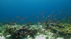 Coral reef with Anthias and Damselfish - stock footage