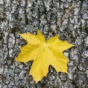 Yellow maple leaf Stock Photos