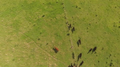 Flying above the cows and horses Stock Footage