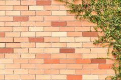 Green creeper plant on brick wall Stock Photos