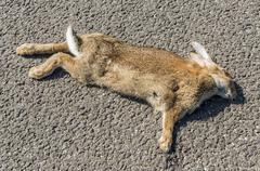 Rabbit traffic casualty Stock Photos