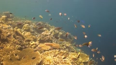 Coral reef with table corals Stock Footage