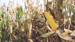 Ripe maize on the corn cob Stock Footage