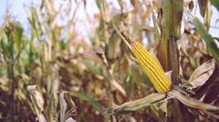 Ripe maize on the corn cob - stock footage