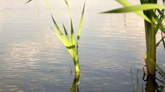 Vegetation on the lake (reeds) 10 Stock Footage