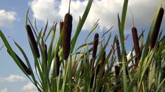 Vegetation on the lake (reeds) 5 Stock Footage
