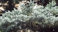 Branches of blue spruce (4) Stock Footage