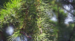 Stock Video Footage of branches of conifer, spruce branches (3)