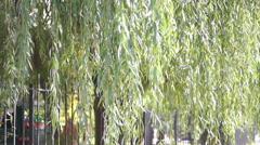 Stock Video Footage of branches of the weeping willow leaves (2)