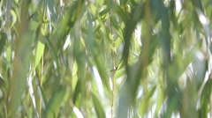branches of the weeping willow leaves (5) - stock footage