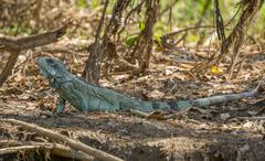 Iguana in riverbank of Brazilian Pantanal - stock photo