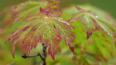 Maple Leaves After Rain at Butchart Gardens Stock Footage