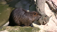 South American Beavers near a rock pool Stock Footage