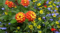 Orange Flowers at Butchart Gardens Stock Footage