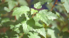 young leaves of birch - stock footage