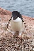 Adelie penguin which stands near the empty nest in colonies Stock Photos