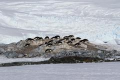 Small colony of adelie penguins among the rocks and snow on the antarctic isl Stock Photos