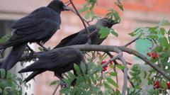bird on tree (rooks on birch) 8 - stock footage