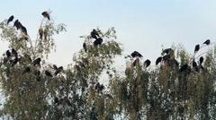 bird on tree (rooks on birch) 6 - stock footage