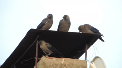 birds on the roof (rooks) - stock footage