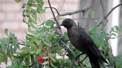 bird on tree (rooks on birch) 4 - stock footage
