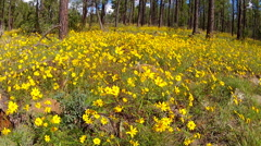 Stock Video Footage of Field Of Wildflowers In Coconino National Forest- Flagstaff AZ