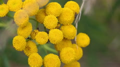 Yellow wildflower (2) Stock Footage