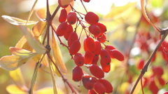 Berry barberry, red fruit (1) Stock Footage