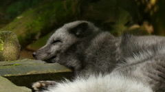 Polar fox (vulpes lagopus) sleeping extreme closeup Stock Footage