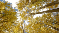 Yellow Fall Leaves in Colorado Autumn on Aspen Trees in Forest Locked Shot - stock footage