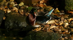 Male wood duck or carolina duck closeup 4K UHD Stock Footage