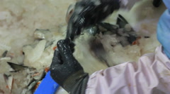 Hand deboning salmon Stock Footage