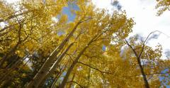 Yellow Fall Leaves Colorado Autumn Aspen Trees Forest Tilt Up 4K 4096x2160 Stock Footage